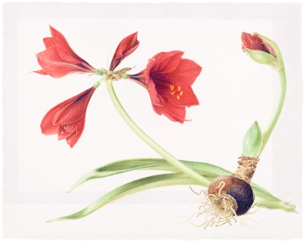 Amaryllis with Bulb