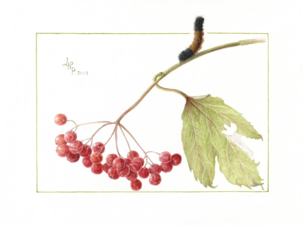 Guelder Rose Berry